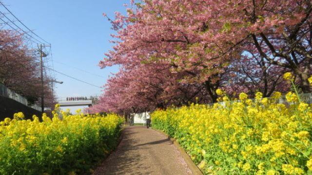 小松ケ池公園(河津桜)